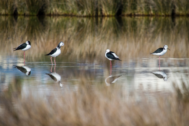Pied stilts snoozing in the morning sun
