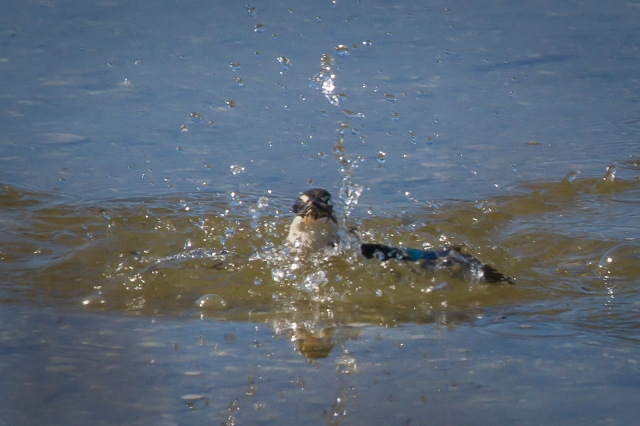 King fisher emerges with lunch