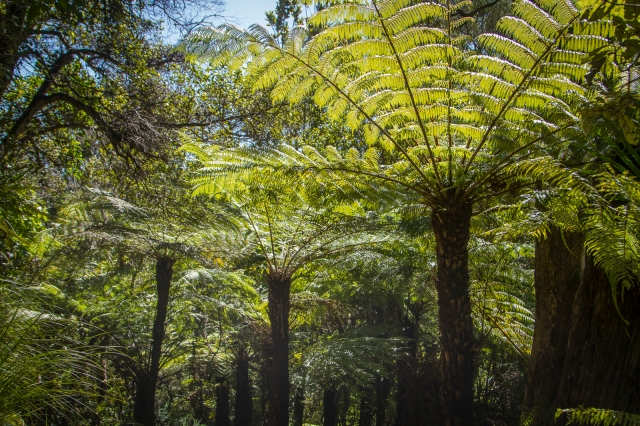Our national emblem the silver fern