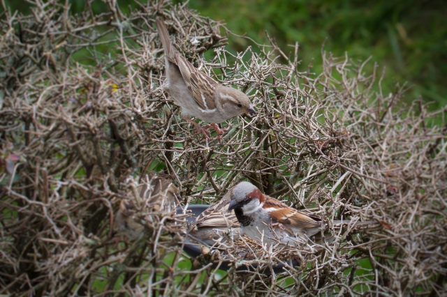 Sparrows in the hedge