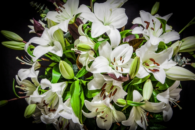 Lilies in full bloom