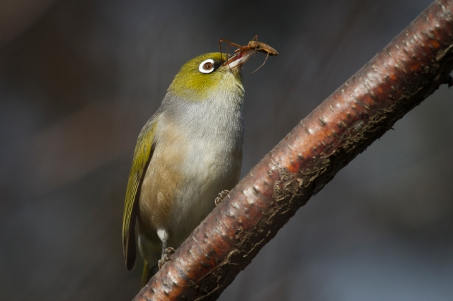 Waxeye at dinner