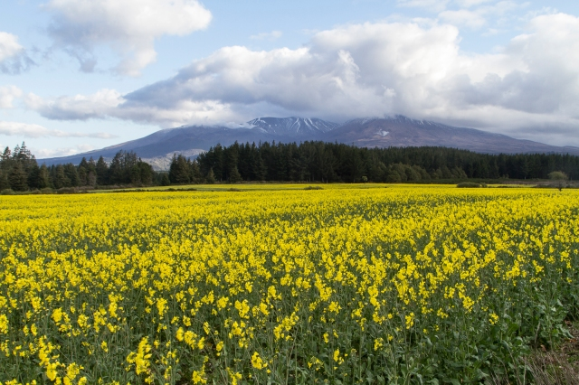 Canola seed with Ruapehu behind