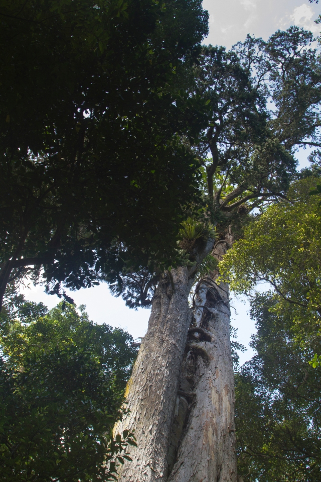 Northern Rata surrounds its host
