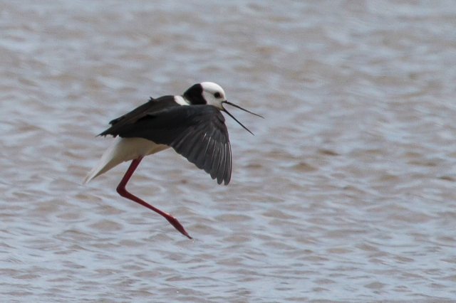 The pied stilt