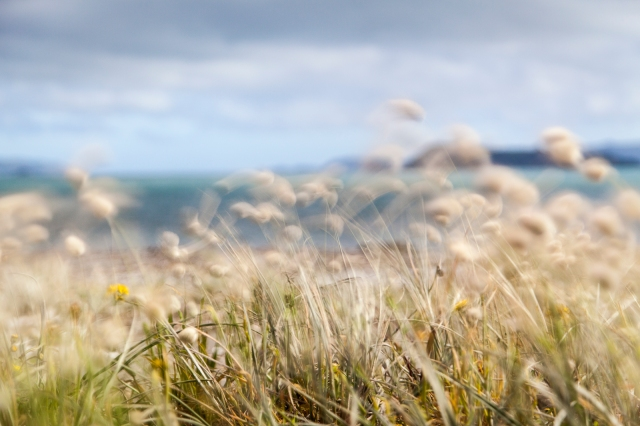 Hare's tail grasses at Petone
