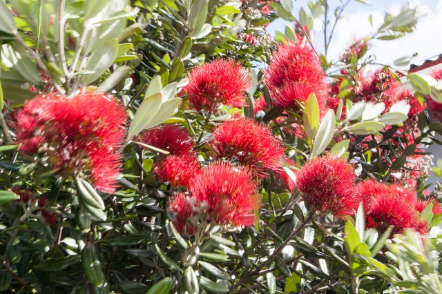 Wind-blown pohutukawa