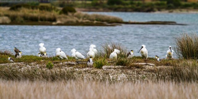 Spoonbills and plovers