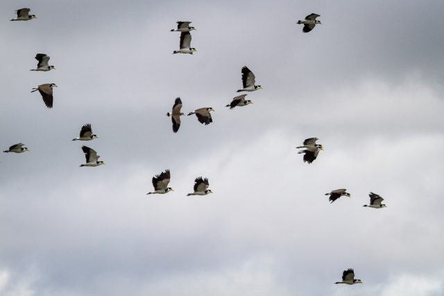 Spur-winged plovers in flight