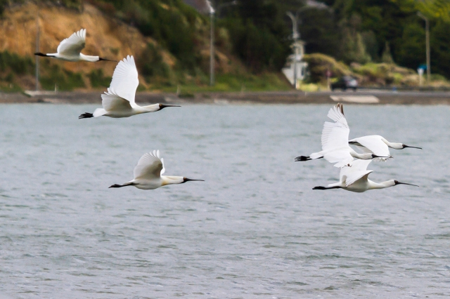 Spoonbills fly to quieter places