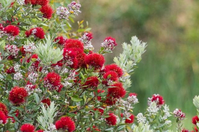 Pohutukawa in flower