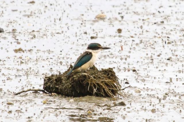 Kingfisher (1)