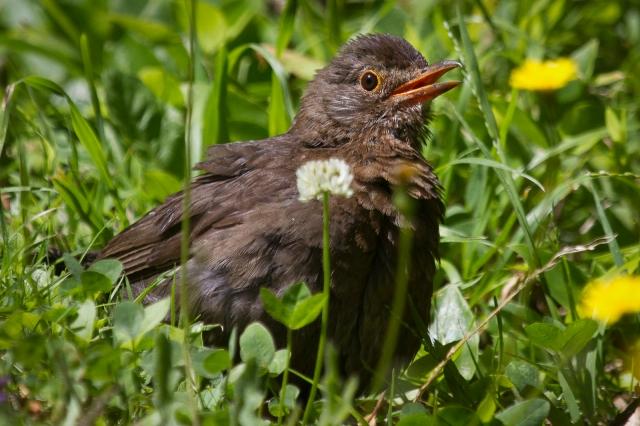 Immature blackbird