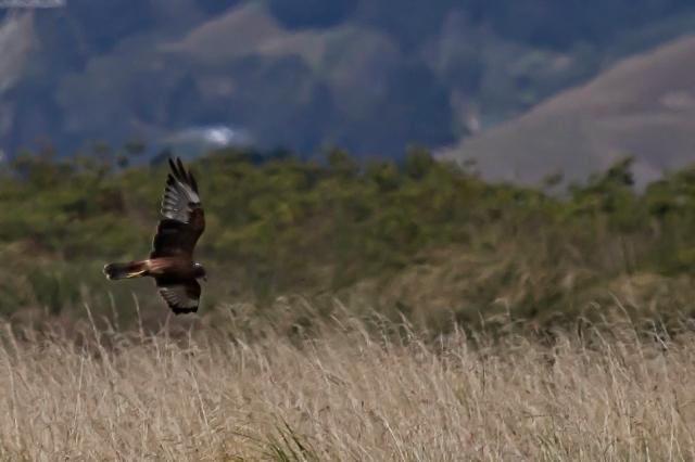 Australasian harrier