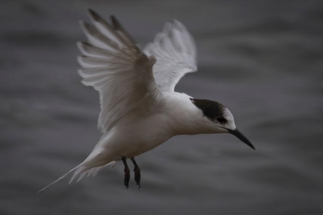 White-fronted tern landing