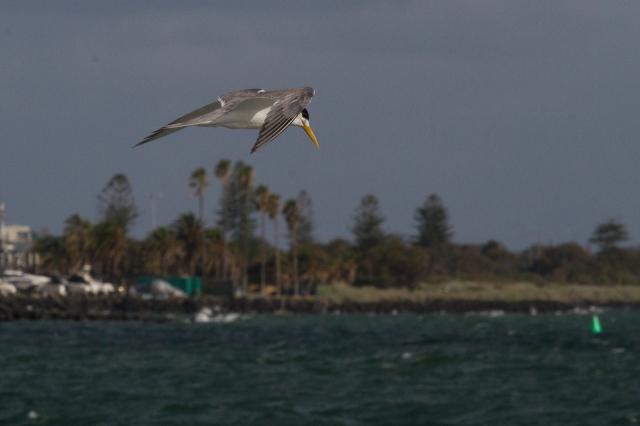 Tern, fishing