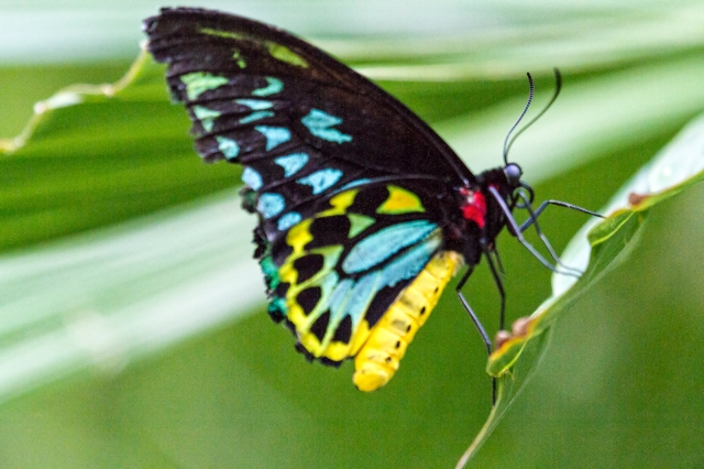 Butterfly - Cairns birdwing