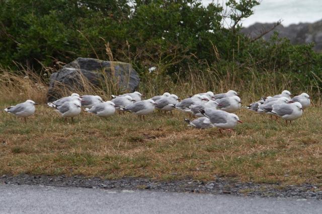 Grumpy gulls