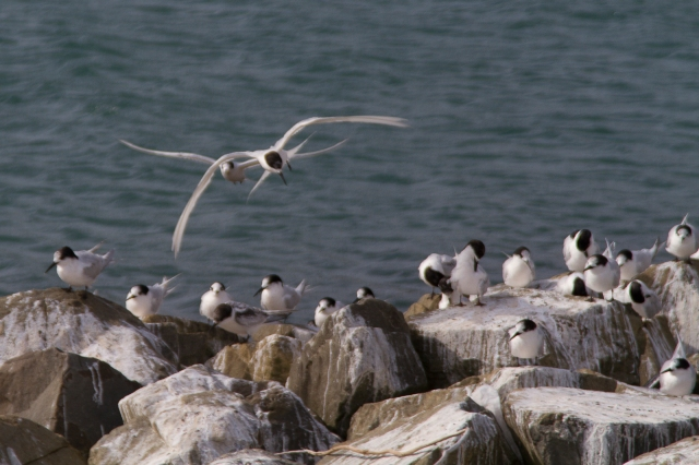 Terns getting ready for the weather