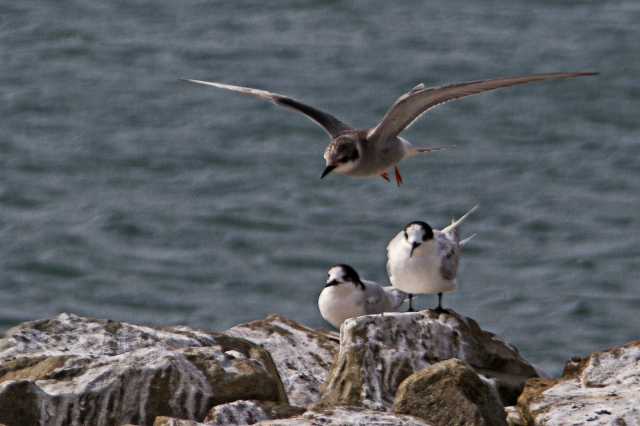 Immature black-fronted tern