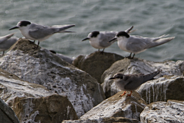 Black-fronted tern at rest