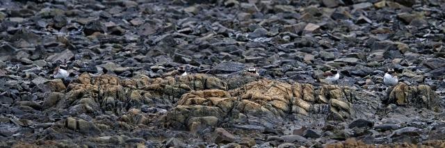 Shore plovers