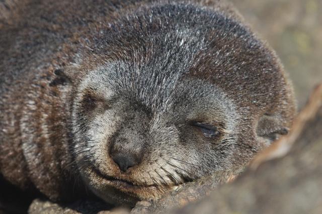 Seal pup (2)
