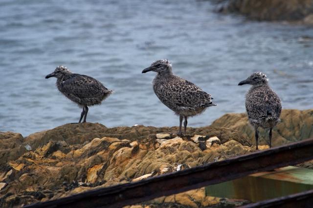 Gull chicks
