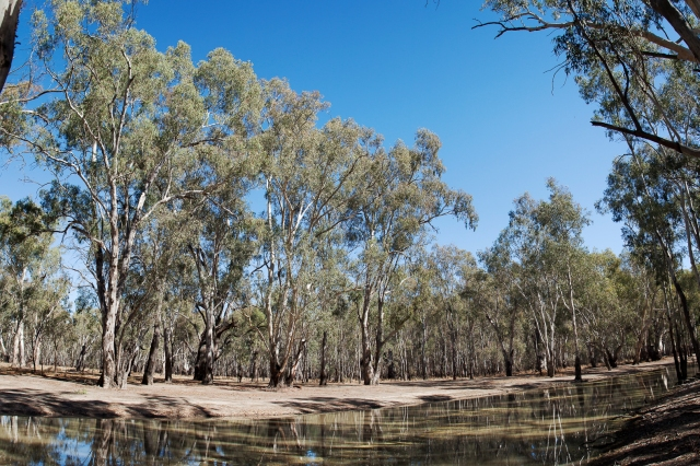 Barmah forest