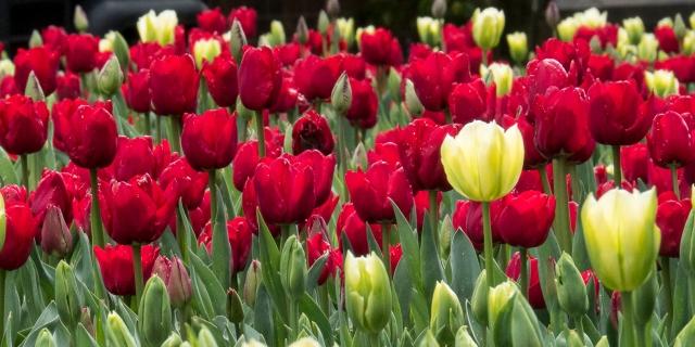 Tulips (2)