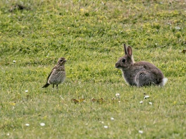 Thrush and Rabbit