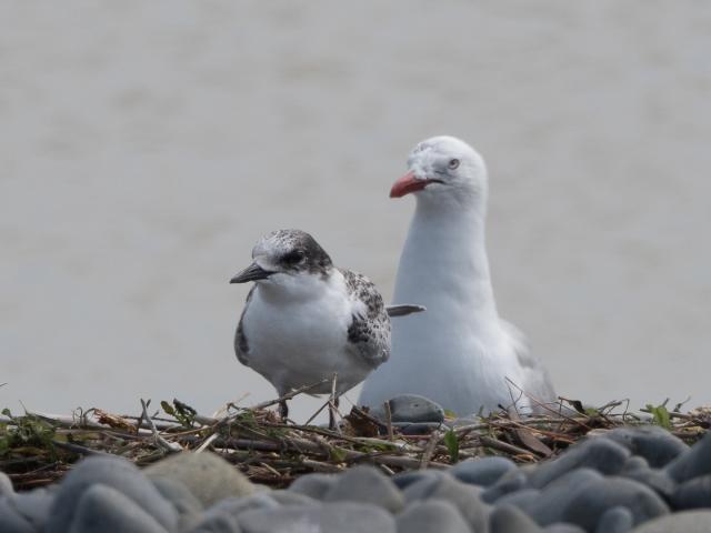 Tern and gull