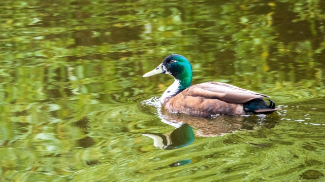 Mallard drake on green water