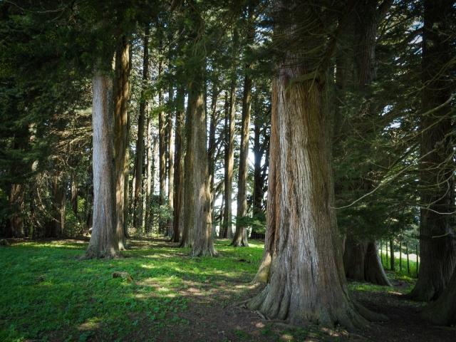 Pine trees at Cross Hills