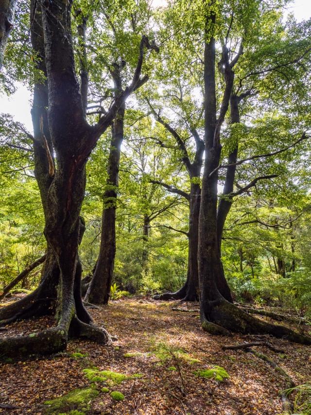 Beech trees in the Remutaka park