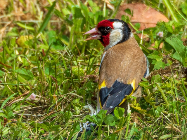 A goldfinch in the grass