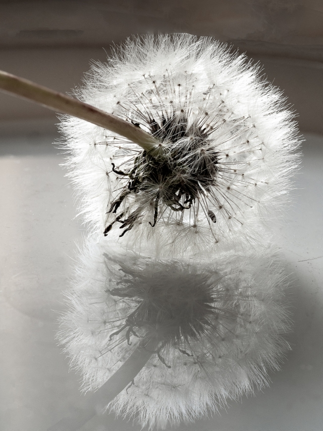 Dandelion and reflection