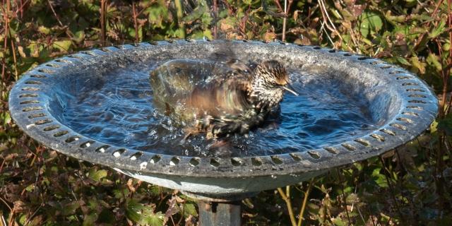 Starling in the bird bath