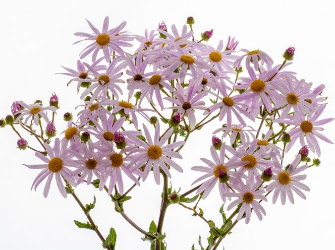 Purple ragwort